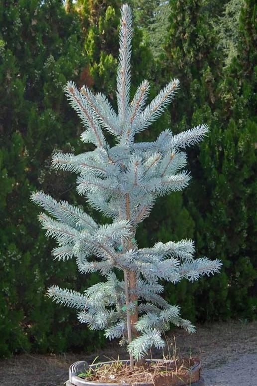 Aşılı Mavi Ladin (100-125 cm)