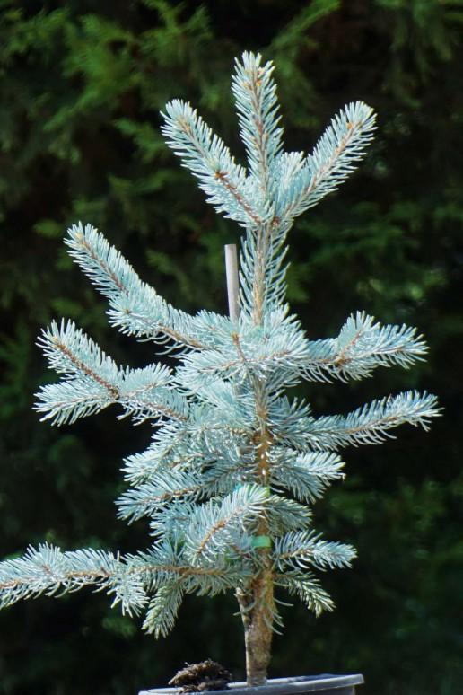Aşılı Mavi Ladin (50-60 cm)