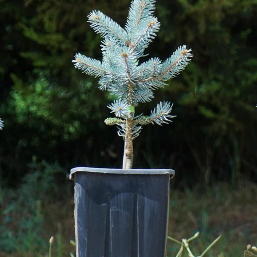 Aşılı Mavi Ladin (30-40 cm)
