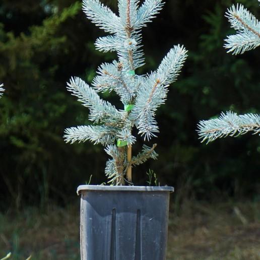 Aşılı Mavi Ladin (40-50 cm)